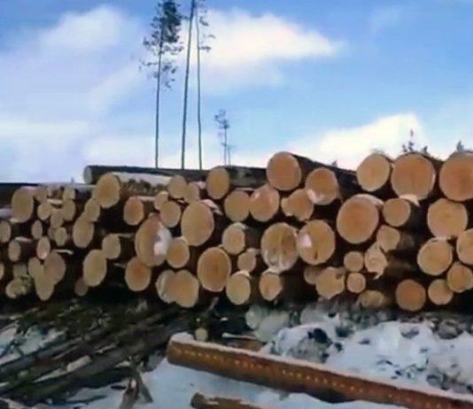 Лес, вырубка, спилы, деревья
