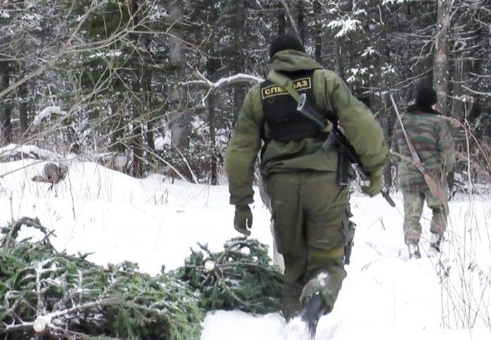 Незаконная вырубка, елки, рослесхоз. Фото: rosleshoz.gov.ru